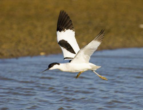 Minsmere RSPB Reserve, Avocet Recurvirostra avosetta landing on water. May 2005.
